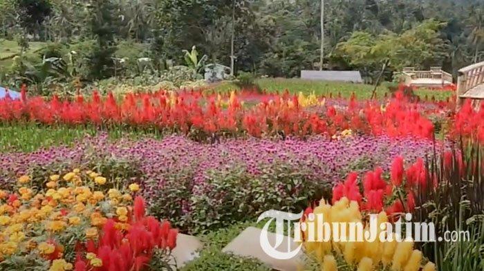 NEWS VIDEO: Kebiasaan Baru saat Liburan Nikmati Surga Bunga di Agrowisata Tamansuruh Banyuwangi