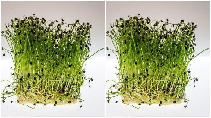 ILUSTRASI Selada Air - Sebelum mengolah daun selada, potong batang tengah selada air. Gunakan bagian daun selada air dan tangkai karena cepat empuk.