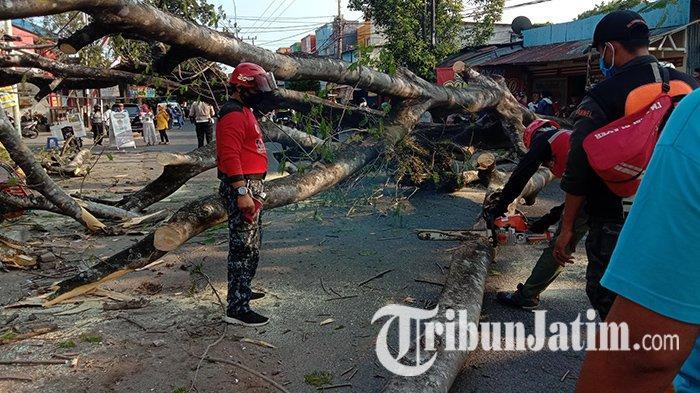 Diduga Akarnya Sudah Rapuh, Sebuah Pohon Perindang Jalan di Malang Tumbang dan Menimpa 3 Kendaraan