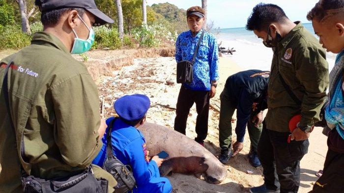 Dugong Terdampar di Gresik, Kondisinya Mengenaskan