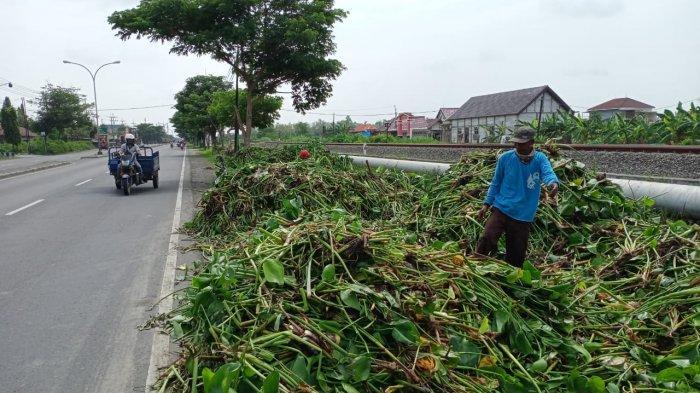 Sampah Eceng Gondok Anak Sungai Dibuang di Bahu Jalan Nasional, Pemkab Lamongan Buka Suara