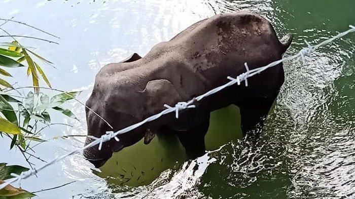 Miris, Gajah Hamil Diberi Warga Nanas Isi Petasan, Mati Berdiri di Sungai dengan Mulutnya Hancur