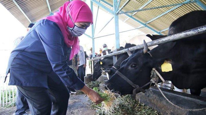 Khofifah Siap Bantu Subsidi Penyiapan Impor Indukan Sapi Bibit Unggul untuk Tingkatkan Produksi Susu
