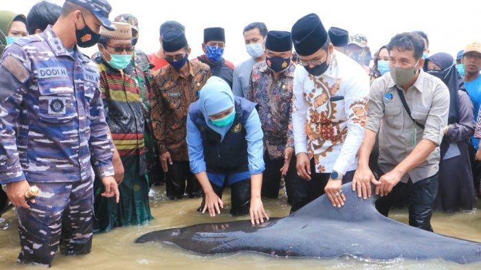 Gubernur Khofifah Bantu Lepaskan Kembali ke Laut Kawanan Ikan Paus yang Terdampar di Bangkalan