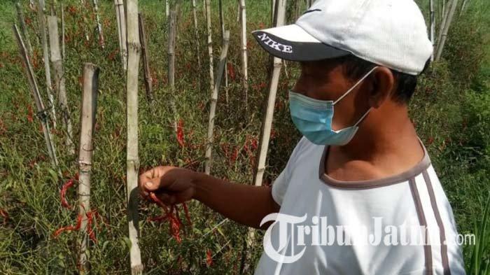 Harga Cabai Rp 4.000, Petani di Tulungagung Membiarkan Cabainya Mengering di Pohon: Rugi