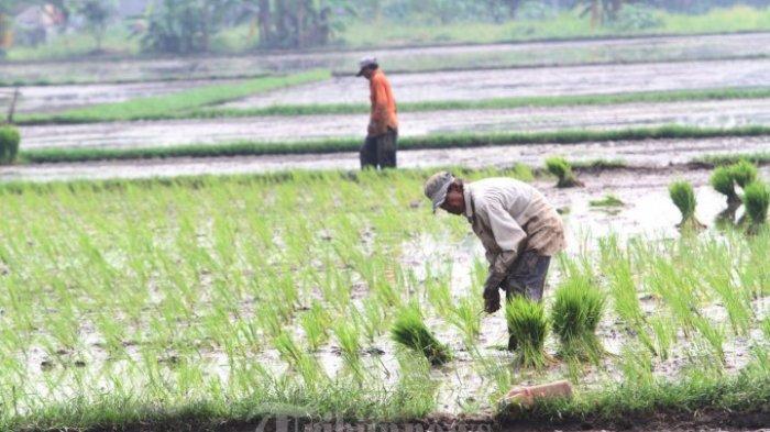 Petani Lamonga Mulai Kepincut Asuransi Pertanian