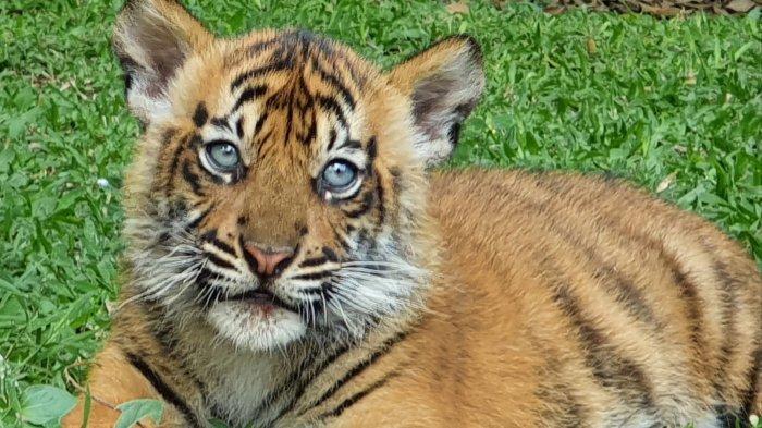 Aura dan Isyana Lengkapi Koleksi Harimau Sumatera di Taman Safari Prigen