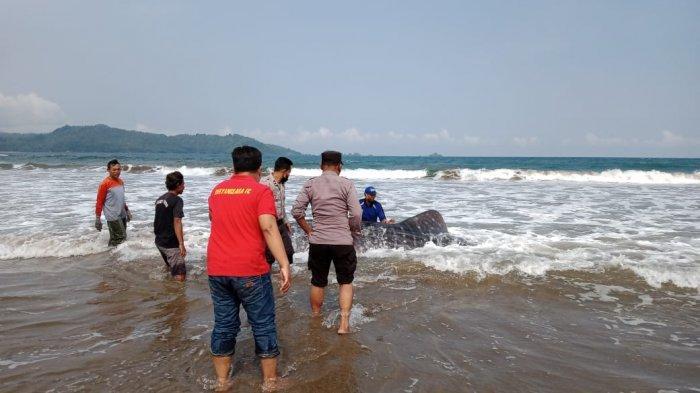 Beberapa Jam Terdampar, Hiu Paus di Pantai Trenggalek Berhasil Dikembalikan ke Laut Lepas