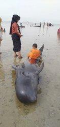 Ikan paus terdampar di Madura