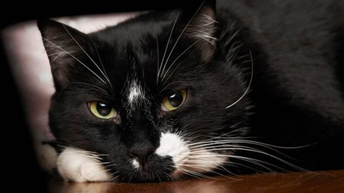Arti Mimpi tentang Kucing, Mimpi Melihat Kucing Hitam Pertanda Ragu, Apa Makna Mimpi Dicakar Kucing?