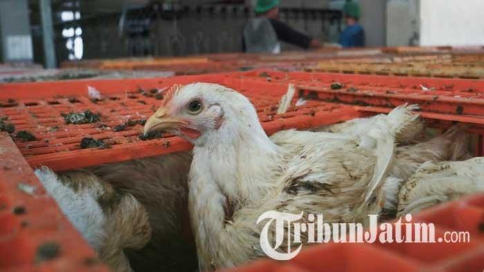 Bisnis Potong Ayam di Jawa Timur Makin Moncer, Darbe Meats Siap Tembus Pasar Ekspor
