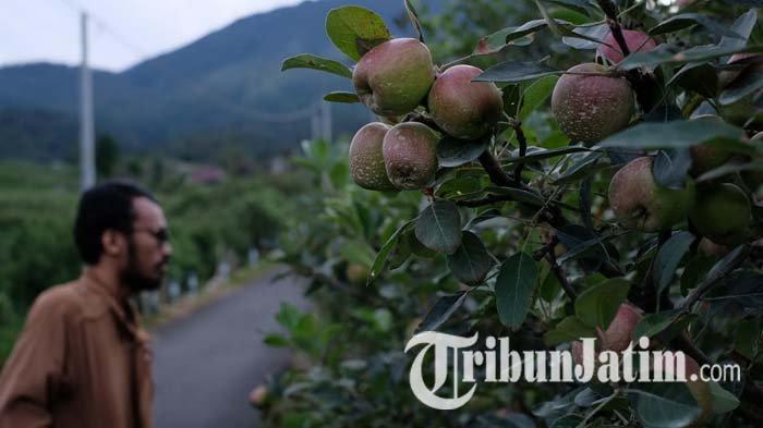 Sambut Musim Kemarau, Harga Apel Kota Batu Membaik, Petani Optimistis Kondisi Kembali Pulih