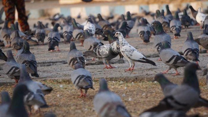 KIAT Sukses Ternak Perkutut 'Cristal Bird Farm', Tetaskan Indukan Berkualitas Berbuah Omzet Jutaan