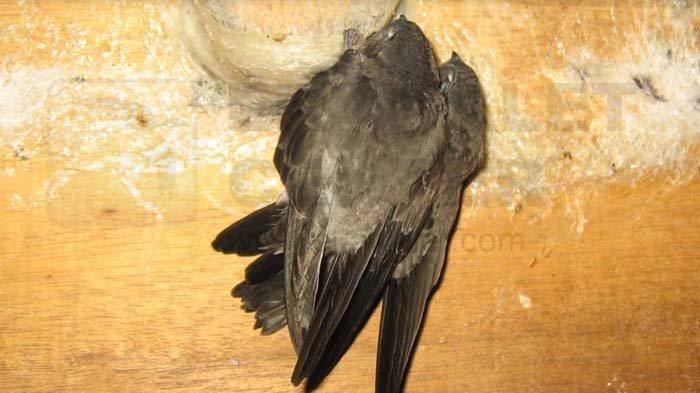 Berbagai Persiapan dan Cara Budi Daya Sarang Burung Walet, Mulai Lahan Hingga Memancing Datang