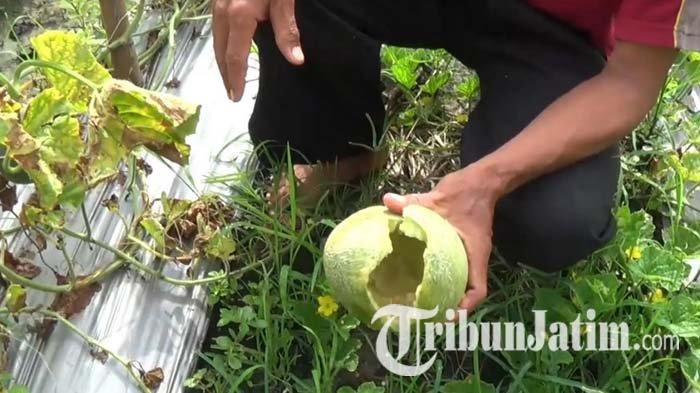 Cuaca Ekstrem, Petani Melon di Magetan Merugi, Buah Membusuk Kena Ulat dan Jamur