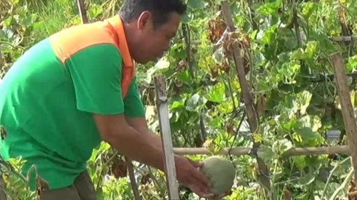 Akibat cuaca ekstrem di Magetan selama sepekan terakhir, petani melon di Desa Klagen Gambiran, Kecamatan Maospati, merugi, Kamis (18/2/2021). Buah melon membusuk.