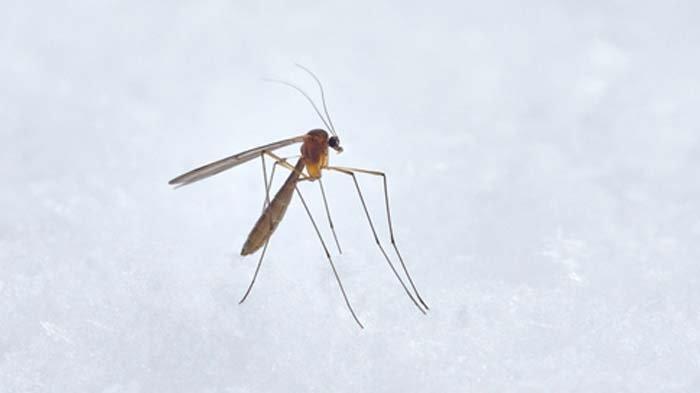 Waspadai Chikungunya, Gejala Chikungunya Dapat Menjadi Parah dan Melumpuhkan