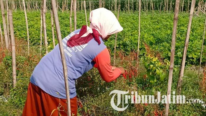 Petani Cabai di Kediri Menjerit Harga Anjlok Sejak PPKM, Berharap Tak Ada Perpanjangan Lagi