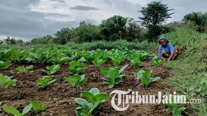 Alasan Dinas Pertanian Sampang Tak Memiliki Target Produksi Tanaman Tembakau Tahun 2021