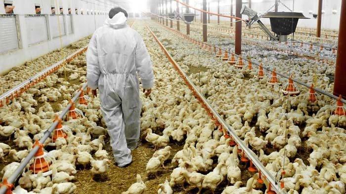Kesejahteraan Ayam untuk Bahan Baku Restoran Cepat Saji di Indonesia Sangat Rendah