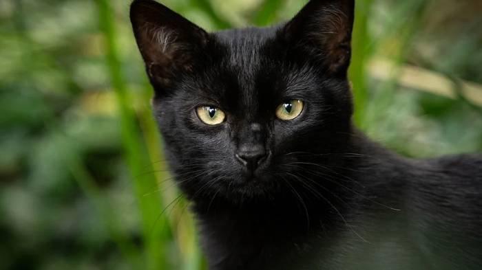 Arti Mimpi Menangkap Kucing Hitam, Bukan Pertanda Baik? Bakal Ada Perselisihan dan Kesulitan Hidup
