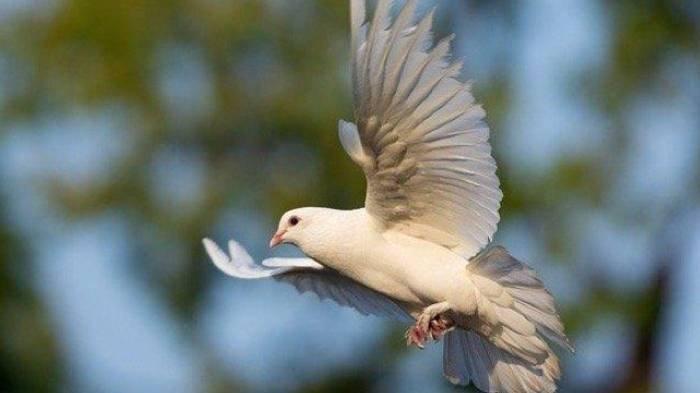 Arti Mimpi Burung Merpati, Pertanda Dapat Rezeki Nomplok, Bagaimana dengan Arti Mimpi Burung Gagak?