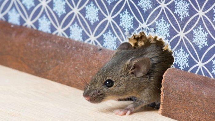 Hama Tikus Serang Tanaman Jagung, Pemdes di Trenggalek Gelar Sayembara: Satu Ekor Dihargai Rp 1000