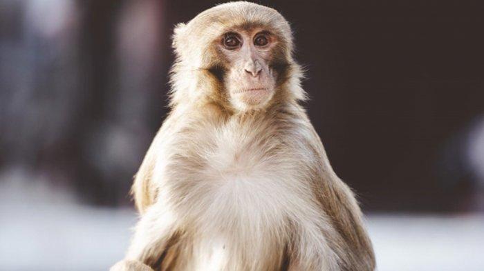 Mengenal Cacar Monyet yang Gejalanya Mirip Cacar Air, Anjing Prairie Bisa Jadi Media Penyebarannya