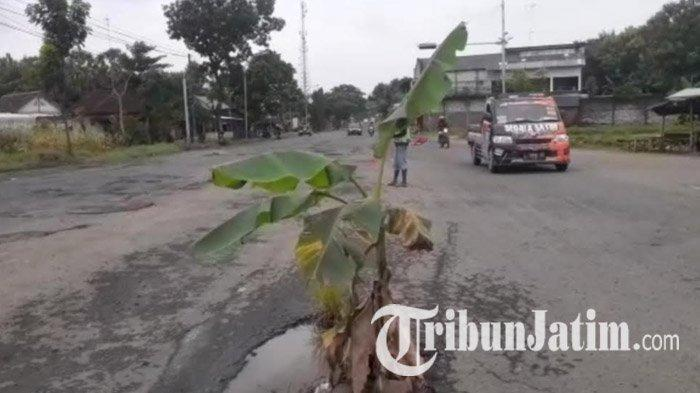 Jalan Nasional Tuban yang Berlubang Ditanami Pohon Pisang, Warga: Banyak Jalan Lubang