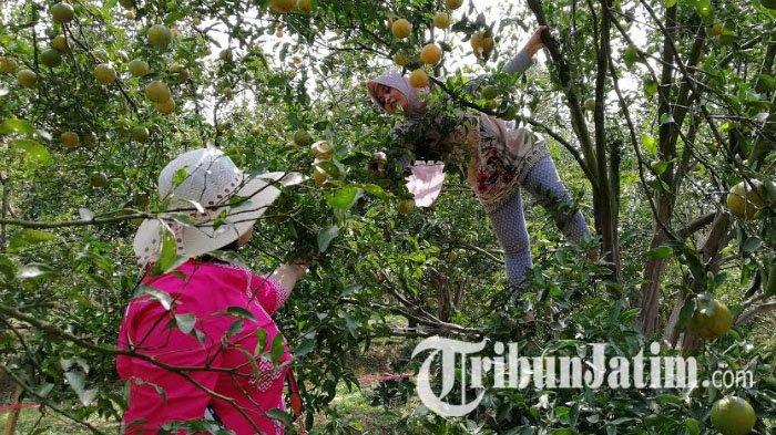 Lereng Wilis Kediri Bakal Jadi Sentra Jeruk, Hasil Jeruk Keprok Tidak Kalah Dengan Durian