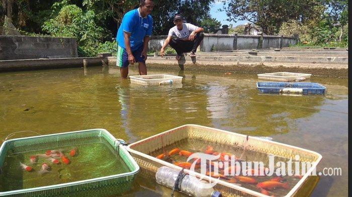 Musim Kemarau Dingin, Angka Kematian Ikan Koki di Tulungagung Capai 50 %, Cegah dengan Kurangi Makan