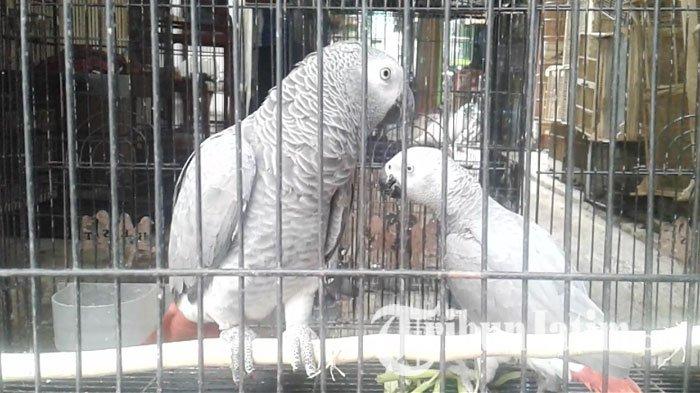 Jual Burung Langka Jenis Kakaktua Pria Asal Pakis Malang Ini Digrebek Polisi Saat Tidur Tribun Jatim