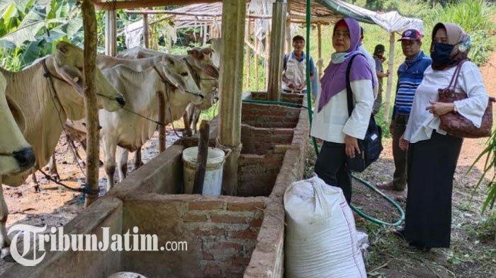 24 Ekor Sapi Betina Produktif Mati, Diperta Kabupaten Mojokerto Sarankan Peternak Ikut AUTSK