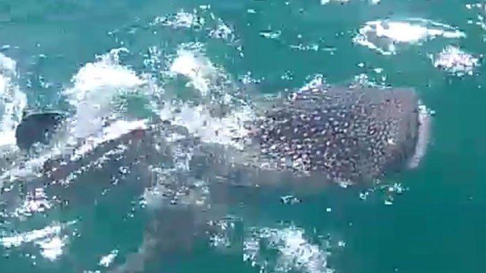 Kawanan Hiu Tutul Muncul di Perairan Paciran Lamongan, Paling Kecil Berukuran 5 Meter