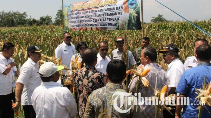 Pantau Ketersediaan Jagung di Probolinggo, Badan Ketahanan Pangan Kementan Harapkan Harga Stabil
