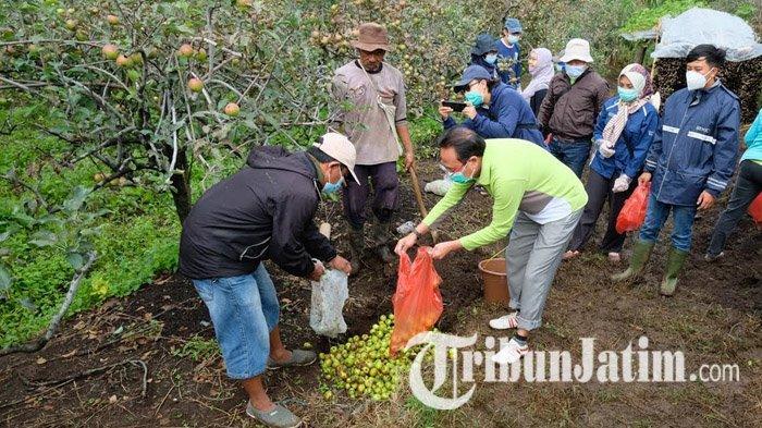 Kepala Dinas Pertanian Kota Batu, Sugeng Pramono (baju hijau) memasukan buah apel yang terserang mata ayam ke dalam kubangan untuk disanitasi, Minggu (7/2/2021).