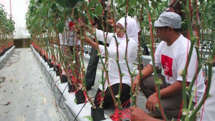 Lihat Komoditas Paprika Kualitas Handal, Khofifah Harapkan Perluasan Melalui Jatim Agro