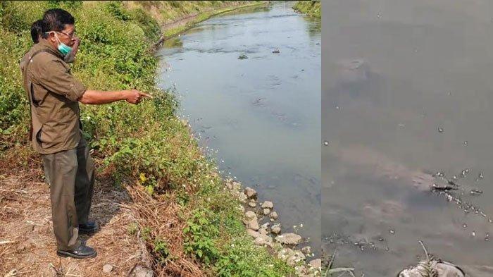 Penampakan Buaya Muncul Misterius di Kali Sadar Mojokerto Diduga Akibat Sungai Tercemar