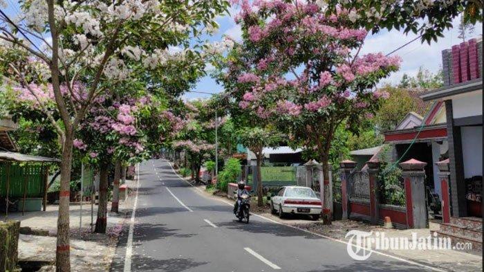 Bunga Tabebuya Curi Perhatian Pengguna Jalan di Kota Blitar, Makin Terlihat Indah saat Pagi Hari