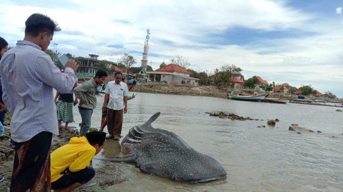 Hiu Tutul Berukuran 4 Meter Terdampar di Pantai Sampang, Jadi Tontonan Warga