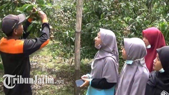 Intip Kebun Kelengkeng Itoh Purna TNI AU di Magetan, Unggulan, Sebulan Bisa Panen Ratusan Juta