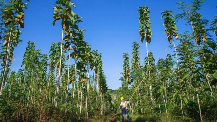 Reklamasi Lahan Pascatambang Batu Kapur di Tuban Telah Menunjukkan Peningkatan Kesuburan Tanah
