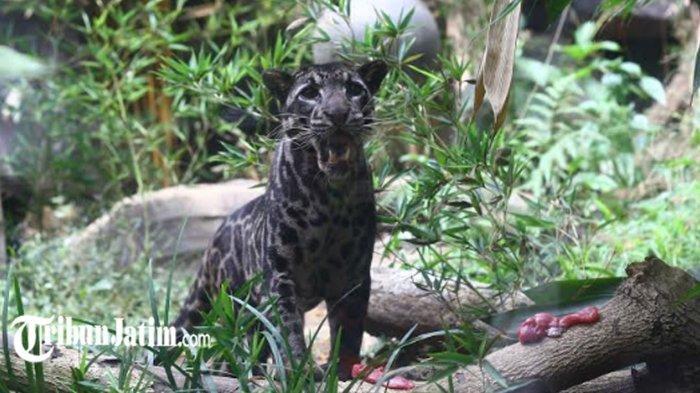 Batu Secret Zoo, Satu-satunya Kebun Binatang di Dunia yang Memiliki 2 Spesies Macan Dahan