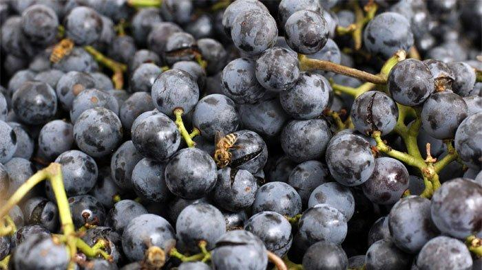 Manfaat Anggur Concord yang Tinggi Kandungan Vitamin C dan Antioksidan, Bagus untuk Kesehatan Ginjal