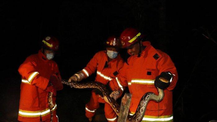 Ular Piton Masuk di Kandang Ternak Warga di Trenggalek, Berhasil Ditangkap Petugas