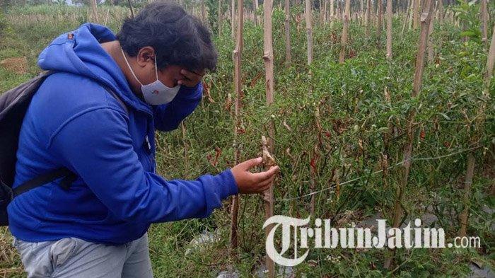 Musim Hujan Buat Harga Cabai di Kabupaten Malang Meroket, Banyak Petani Gagal Panen