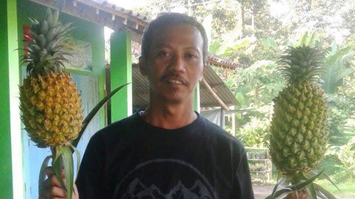 Berkah di Tengah Pandemi Corona, Nanas Banasari Blitar Ludes Diserap Pasar, Petani Jadi Untung