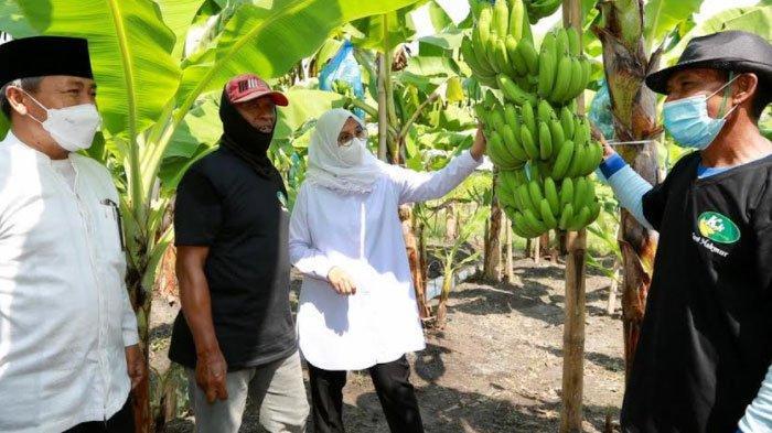 Pacu Pendapatan Petani, Banyuwangi Genjot Pengembangan Pisang Cavendish