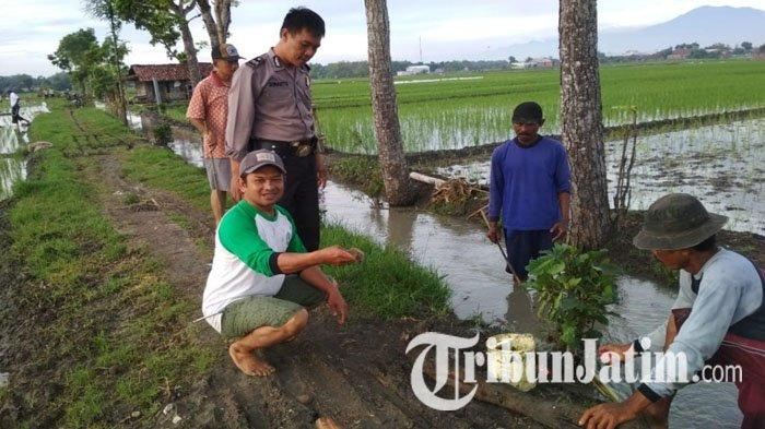 Bingungnya Petani Madiun Saat 100 Hektar Sawah Rusak Diserang Tikus, Cara 'Gropyokan' pun Dipakai