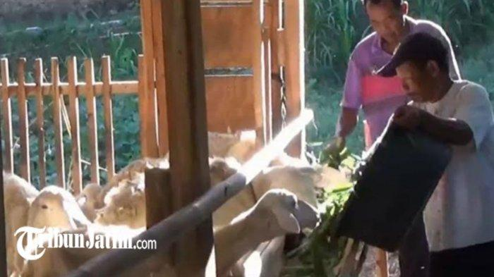 'Pasrah Mas' Curhat Pedagang Hewan Kurban di Magetan, Jelang Idul Adha di Tengah Pandemi Covid-19